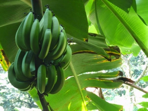 Bananas in Dominica