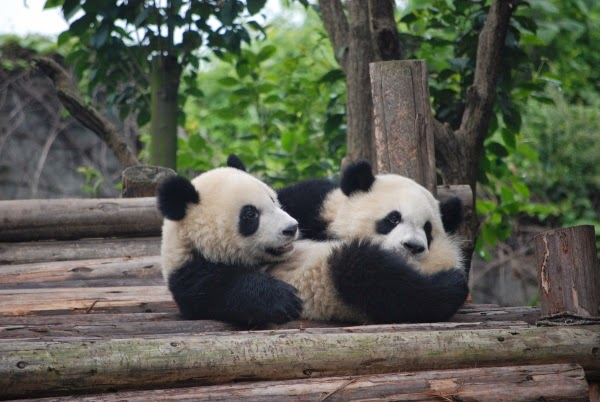 Baby Pandas in Chengdu, China