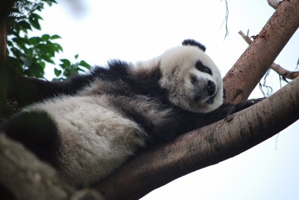 Sleeping Panda in Chengdu, China