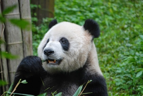 Giant Panda in Chengdu, China