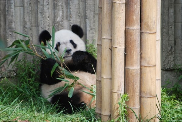 Baby Panda Eating Bamboo in Chengdu, China