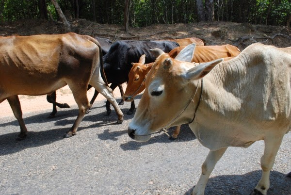 Streetside cows in Cambodia