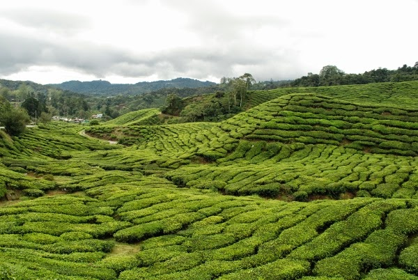 The tea plantations of Boh in the Cameron Highlands, Malaysia
