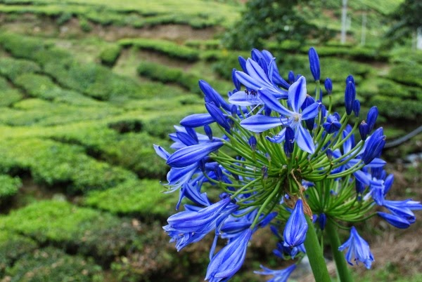 Gorgeous blue flower infront of tea plantations in Malaysia