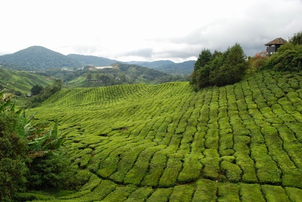 Rolling hills full of tea in the Cameron Highlands of Malaysia