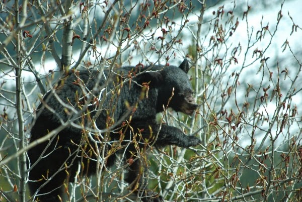Bear in the tree in Banff Nationa Park, Canada
