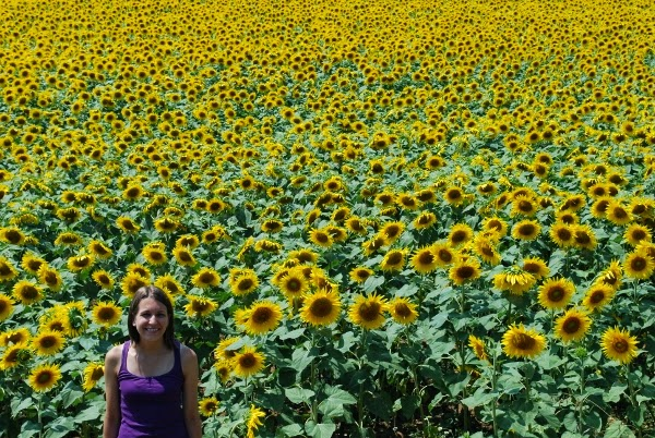 So many sunflowers in Tuscany, Italy