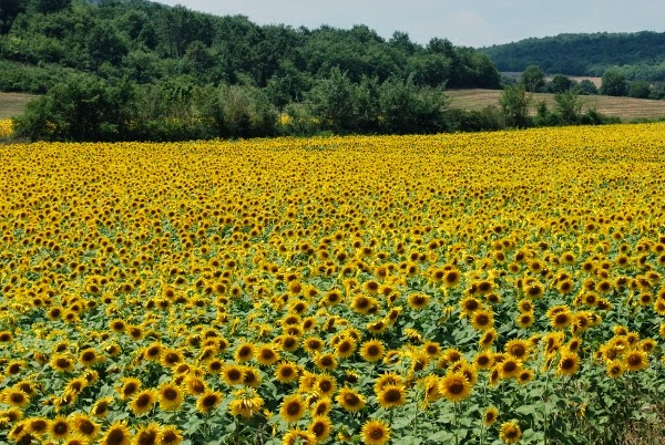 Endless Sunflowers in Tuscany, Italy