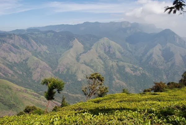 Gorgeous Tea in Munnar, India