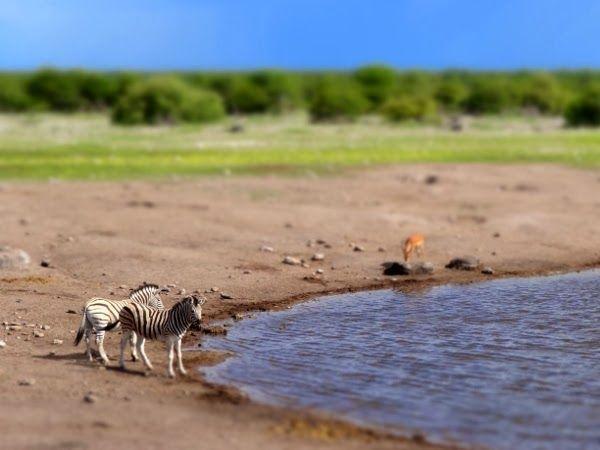 Zebra, Springbok, Giraffes, and more!