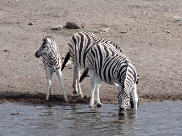 The zebras and other animals slowly return to the watering hole.