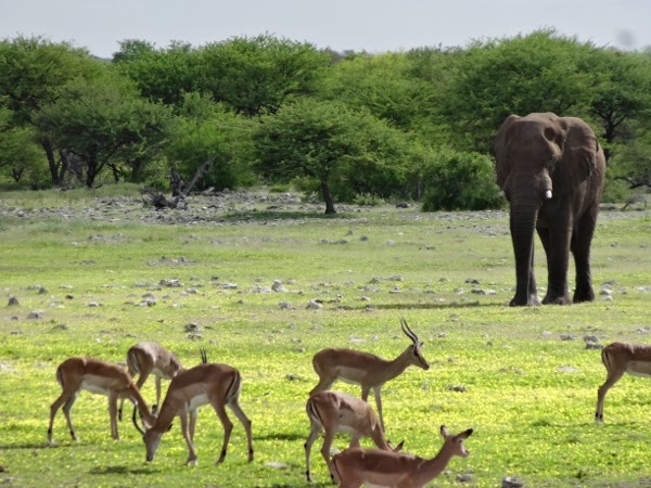 A lone elephant comes out to the watering hole.