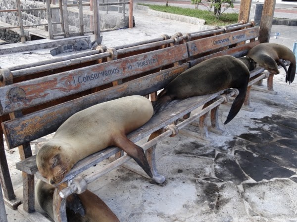 Galapagos sea lions can't be bothered.