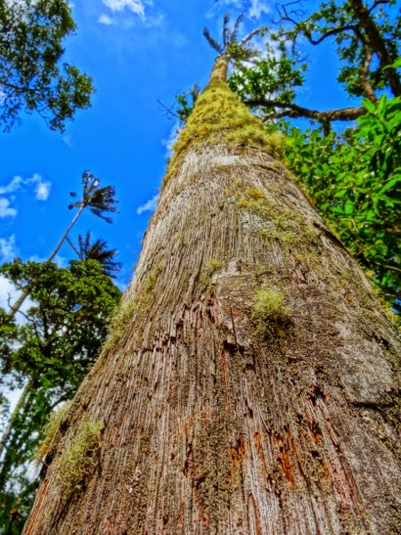 The world's tallest palm trees of the Cocora Valley, Colombia