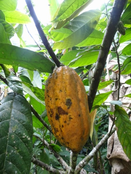 Ripe cacao pod ready to go