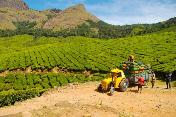 Highest Tea Plantation