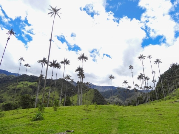 Salento Palm Trees