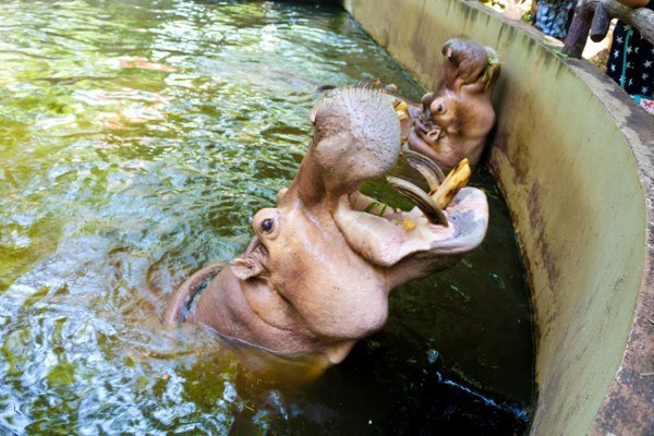 Feeding the Hippos at the Chiang Mai Zoo