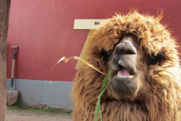 Alpaca Does Not Approve