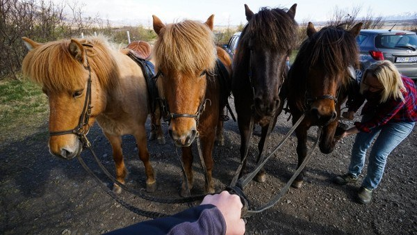Icelandic Horses are Total 80s Rockers