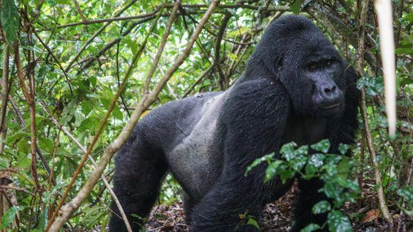 Silverback Gorilla Gorilla