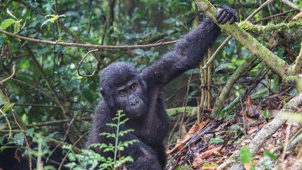 Gorillas at Bwindi Impenetrable National Park