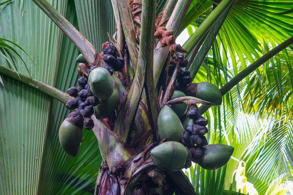 Coco de Mer in Praslin