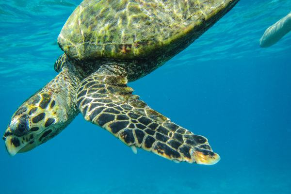 Hawksbill Turtle in the Seychelles