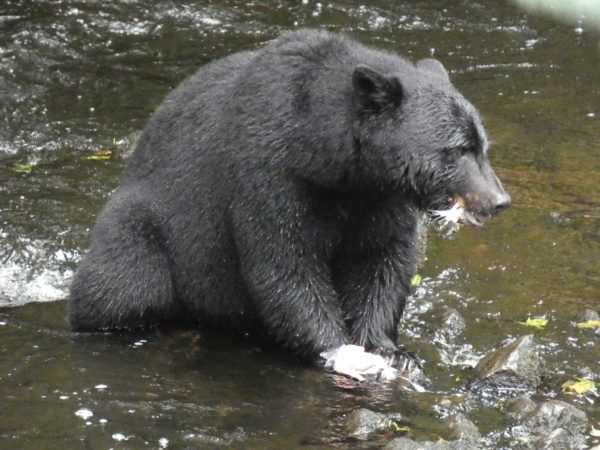 Bear Eating Salmon in Ketchikan