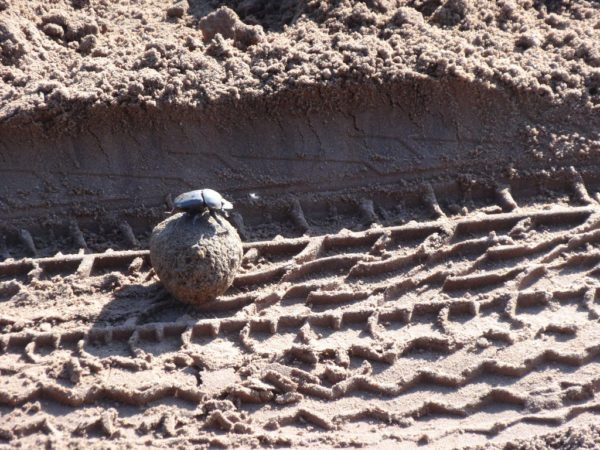 Dung Beetle Going Up a Hill