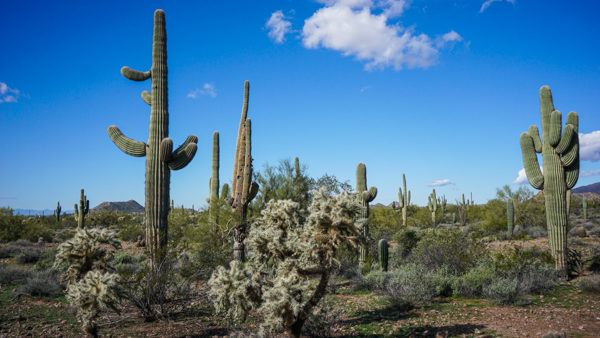 Cacti in the Sonoran Desert in Arizona