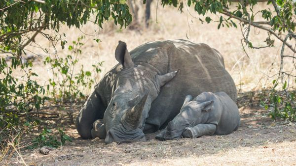 Baby Rhino - One of the Best Africa Safari Experiences!