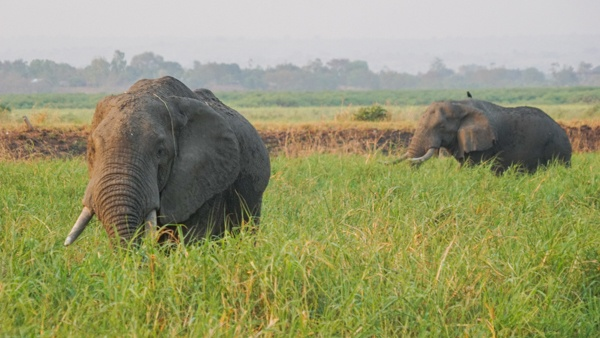 Elephants at Murchison