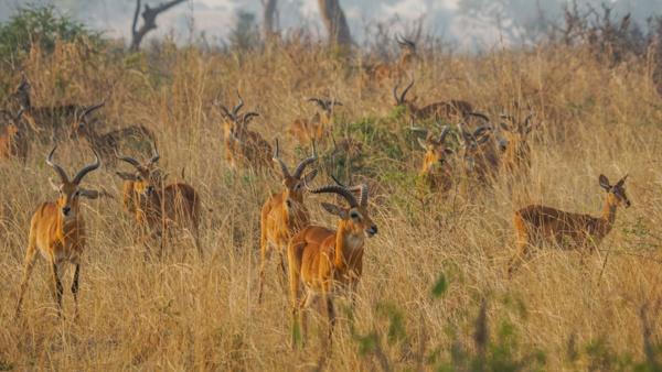 Antelope in the Morning Sun