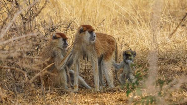 Monkeys in Murchison Falls National Park