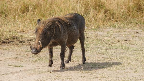 Warthogs in Uganda