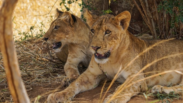 Lion cubs at Murchison Falls National Park