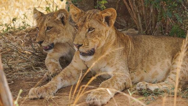 Tiger Juveniles at Murchison Falls