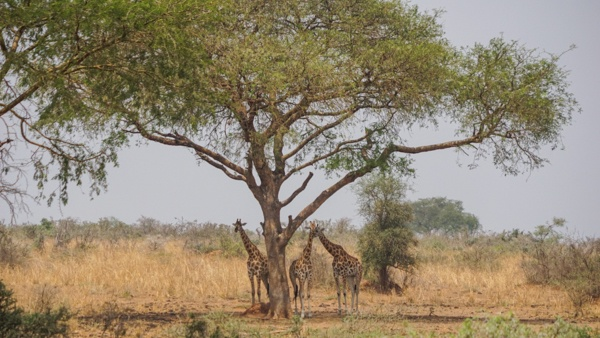Giraffes at Murchison Falls in Uganda