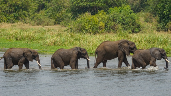 Elephants in Murchison Falls