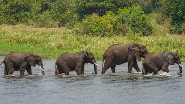 Elephants in Murchison Falls
