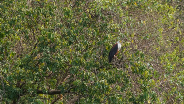 Fish Eagle in Uganda