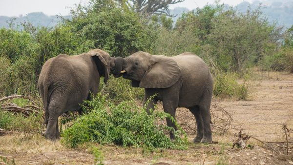 Elephants at Queen Elizabeth National Park