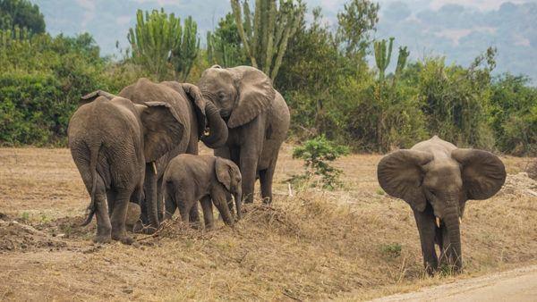 Elephant Family in Uganda