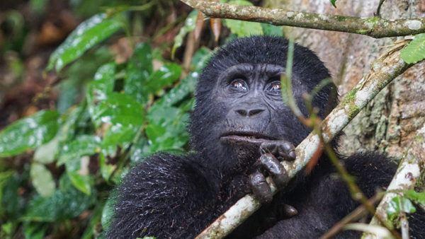 Juvenile Gorilla in Bwindi