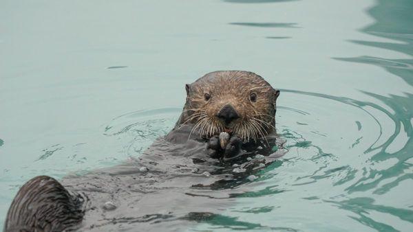 Sea Otter in Seward