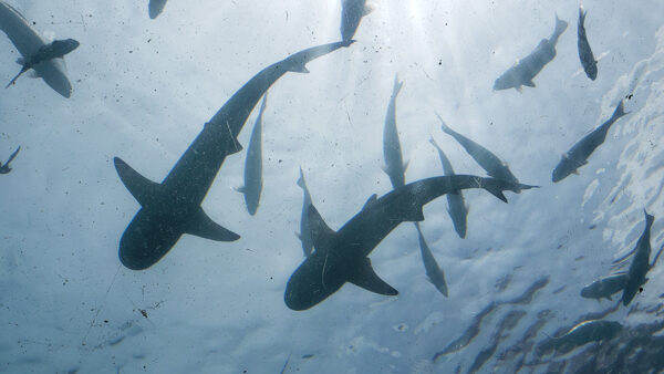 Flying Sharks at Ithaa