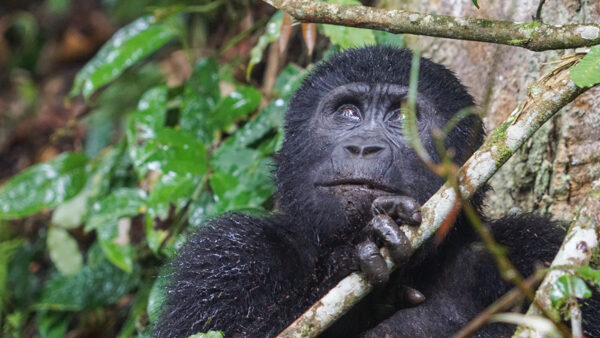 Gorilla at Bwindi Impentrable Forest