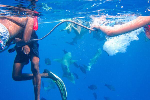 Nurse Shark Snorkeling Near Fulidhoo