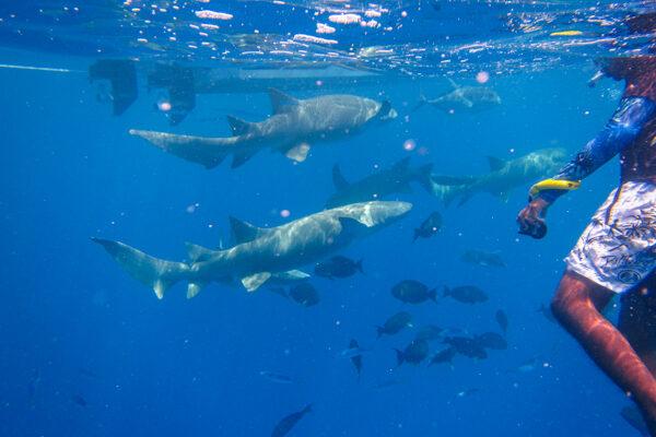 Nurse Shark Snorkel Fulidhoo